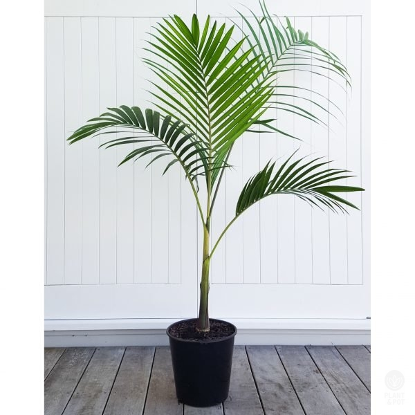 Bangalow Palm 1.4m tall