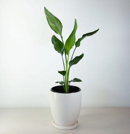 Bird of Paradise in White Ceramic plant pot (Strelitzia)