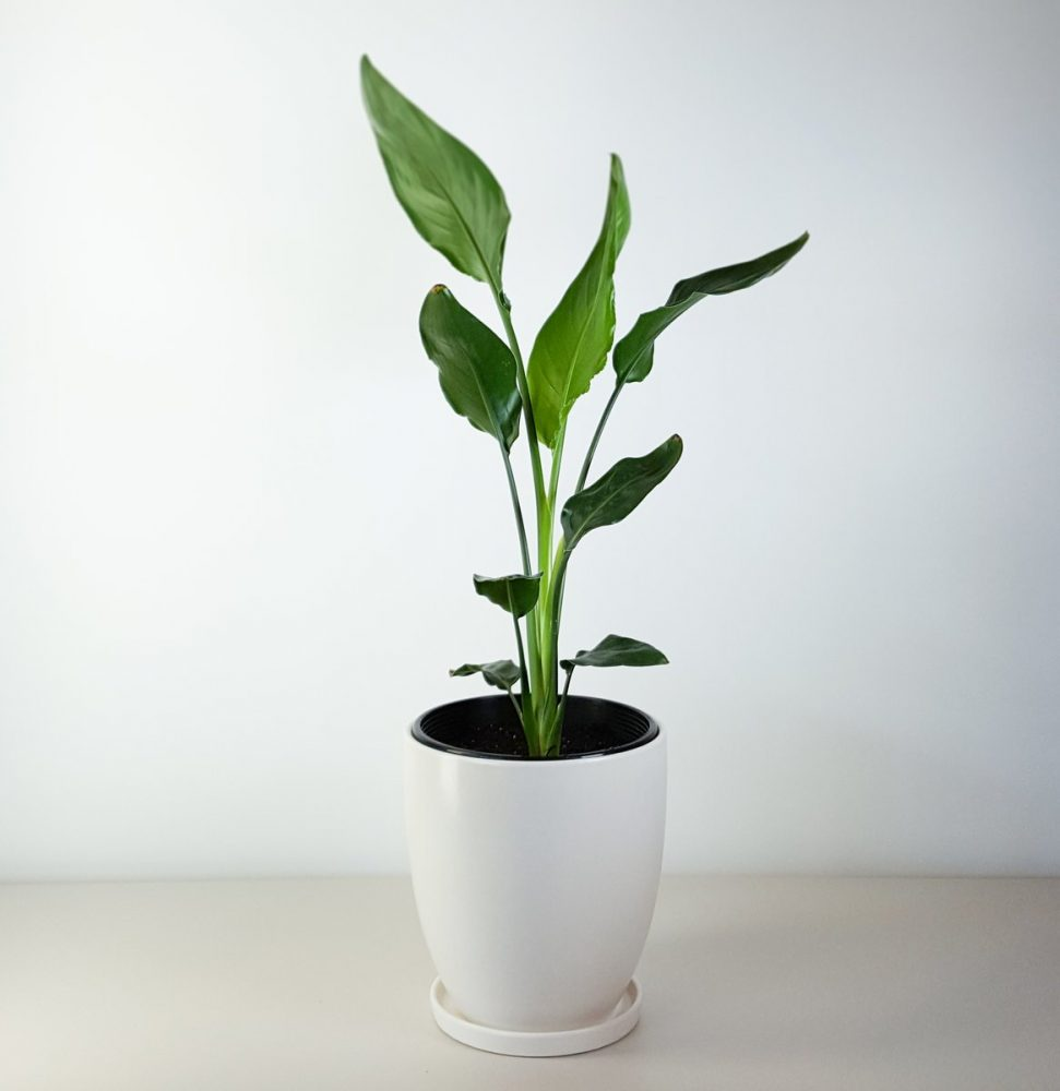 bird of paradise in white pot strelitzia for indoors On house plant pots