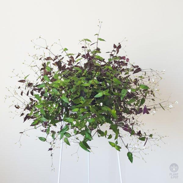 Bridal Veil plant