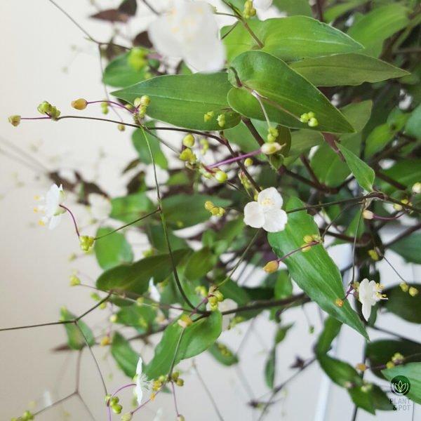 Bridal Veil plant close-up