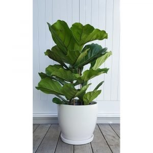 Fiddle leaf fig large and lovely - Indoor plant pots with saucers ...
