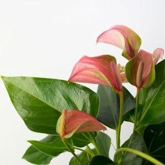 Anthurium Joli, a lovely flowering indoor plant