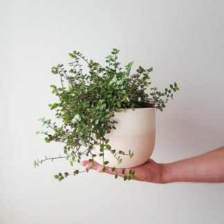 Callisia Bubbles in Renee Boyd Dusty Pink Plant Pot, exclusive to Plant & Pot NZ