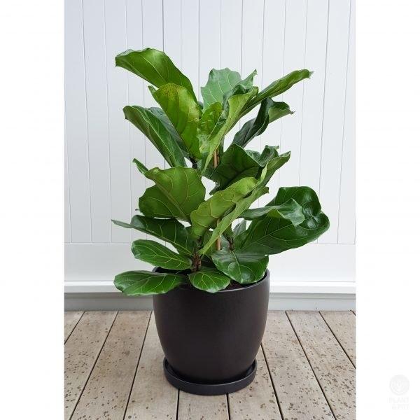 Classic Ficus Lyrata in Black Ceramic Plant Pot with Saucer, 38cm