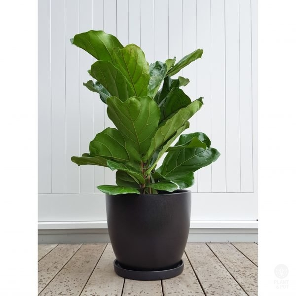 Classic Ficus Lyrata in XXL Black Ceramic Plant Pot with Saucer
