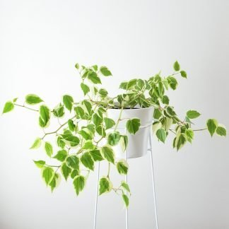 Cupid Peperomia, Peperomia Scandens