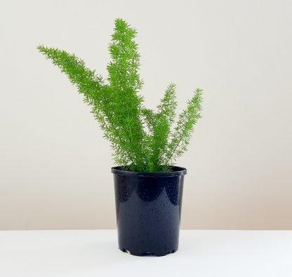 Foxtail Fern or Asparagus Myerii