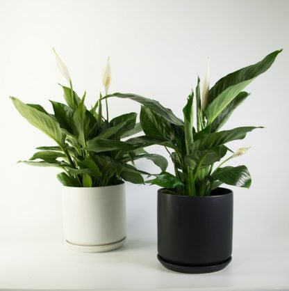 Peace Lily in Black or White 18cm, Purify the Air Pollen Free
