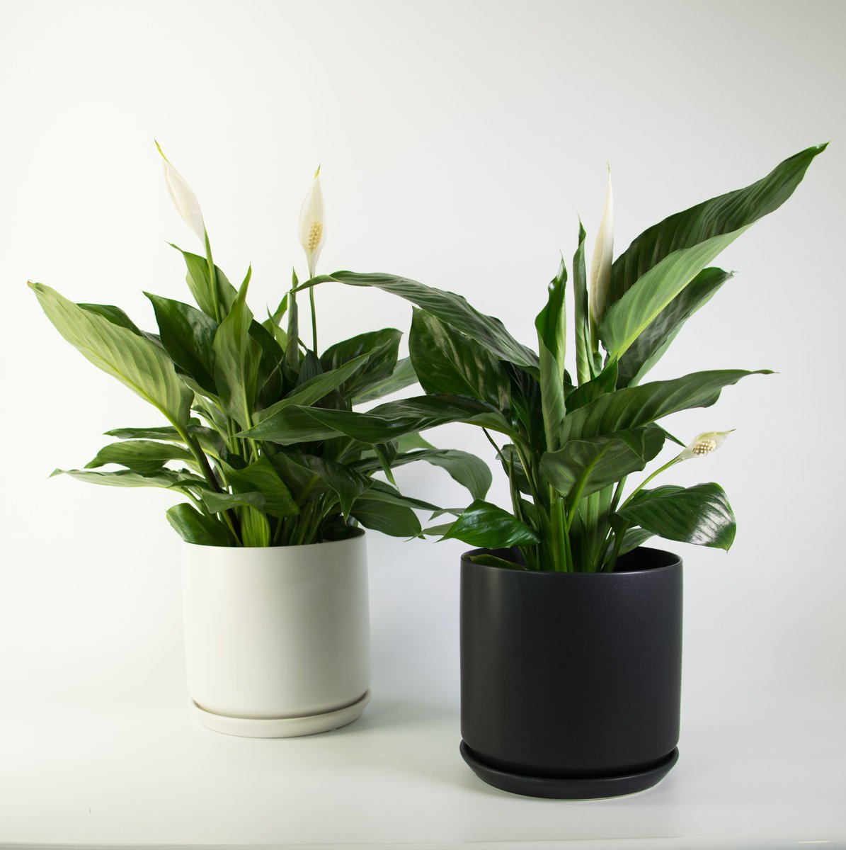 Peace Lily In A Black Or White Pot Air Purifier Plantandpot
