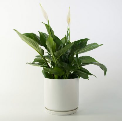 Peace Lily in White Plant Pot 18cm, Purify the Air, Pollen Free