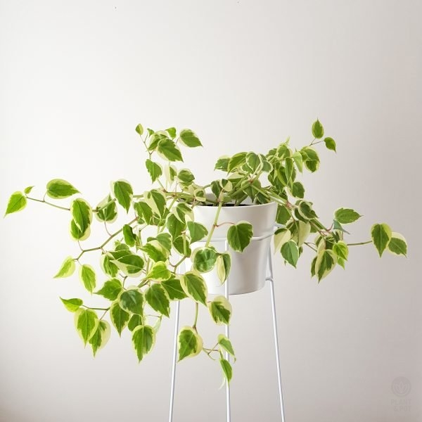 Peperomia Scandens, Cupid Peperomia