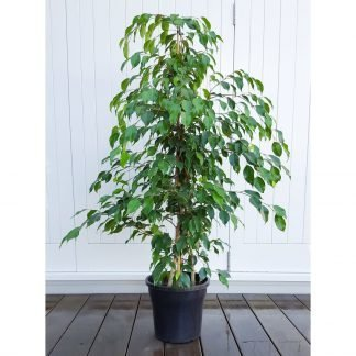 Ficus Benjamina, also known as the Weeping Fig, has lovely fine foliage
