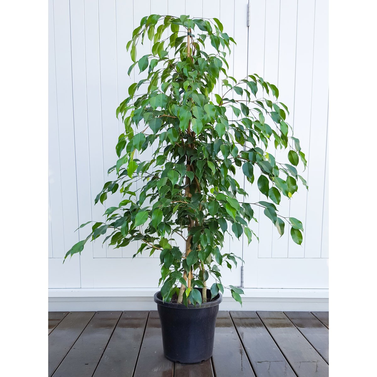 the weeping fig The weeping fig is part of the ficus plant genus (scientific name: f benjamina) and tree like, in looks with large arching branches and long pointed leaves it looks.