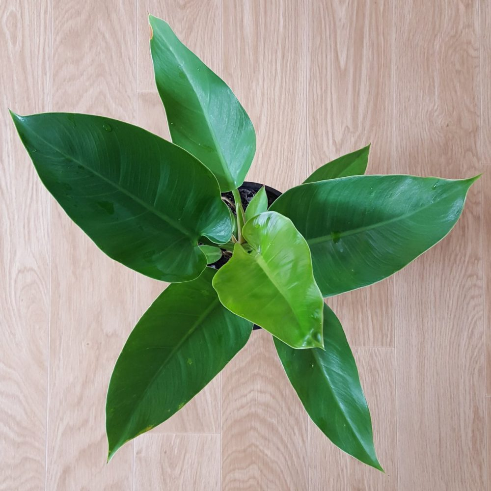 Philodendron Imperial Green Plant And Pot Nz