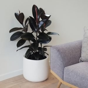 Rubber Tree 'Black Knight' in the Bianca Cylinder Pot, as pictured at the wonderful Market Cove showhome in Favona, Auckland