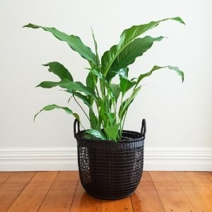 XL Peace Lily in Black Mesh Basket (Seagrass)