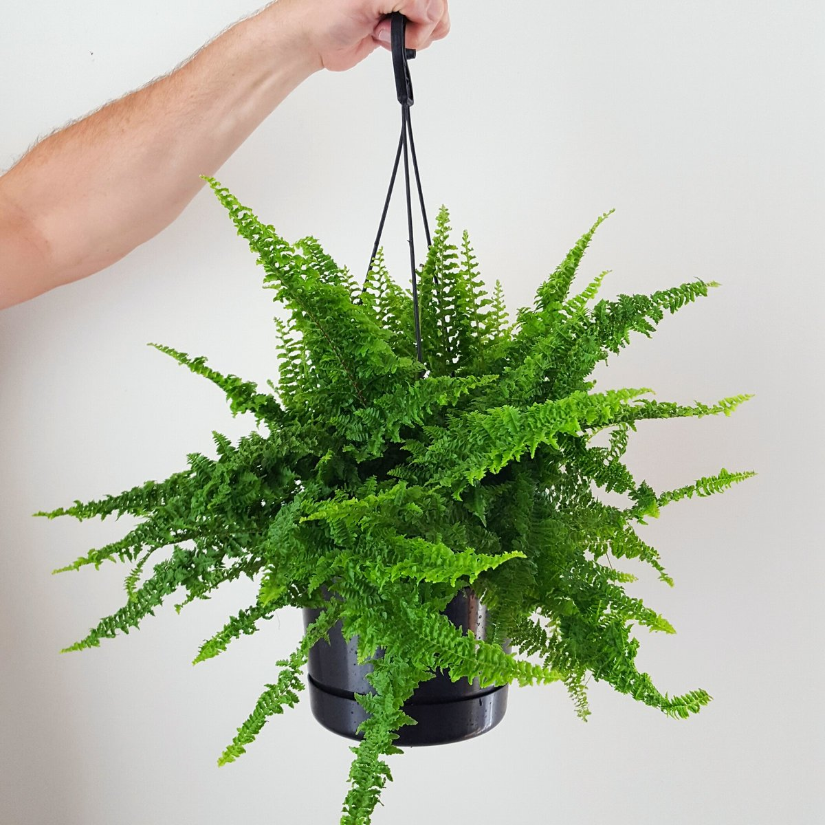 Boston Fern Fluffy Ruffles Plant And Pot Nz