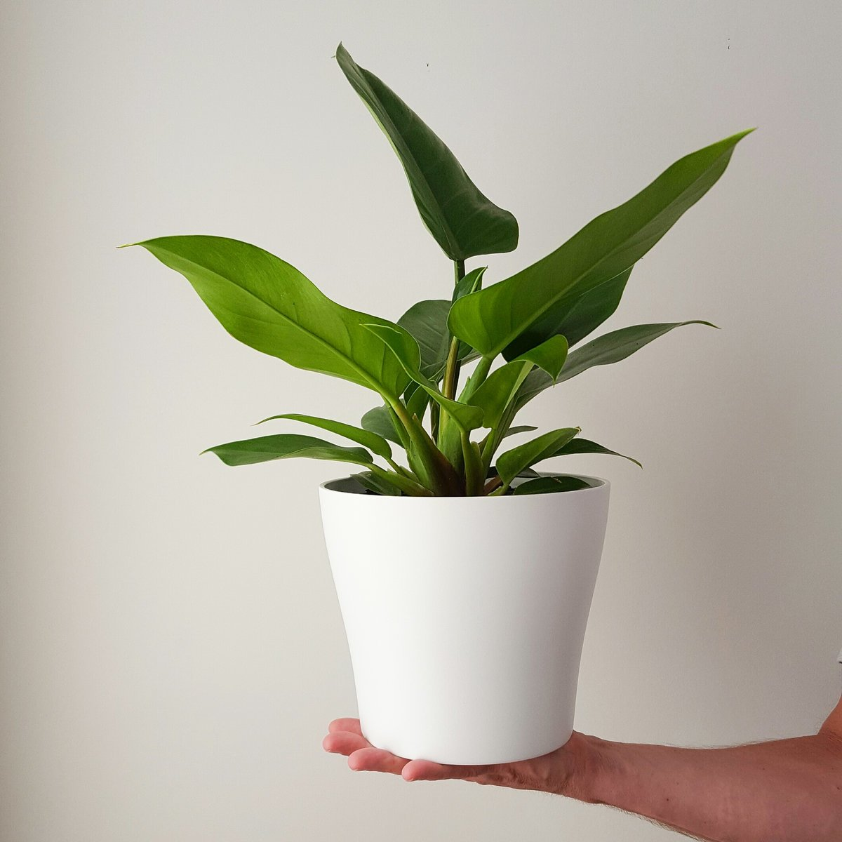 Philodendron Imperial Green In White Plant And Pot Nz