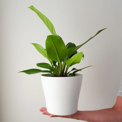 Philodendron Imperial Green in Classic White Pot