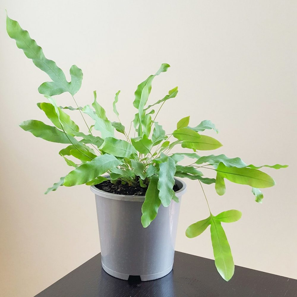 Picture of Live Blue Star Fern aka Phlebodium aureum Foliage Plant Fit 1QRT Pot