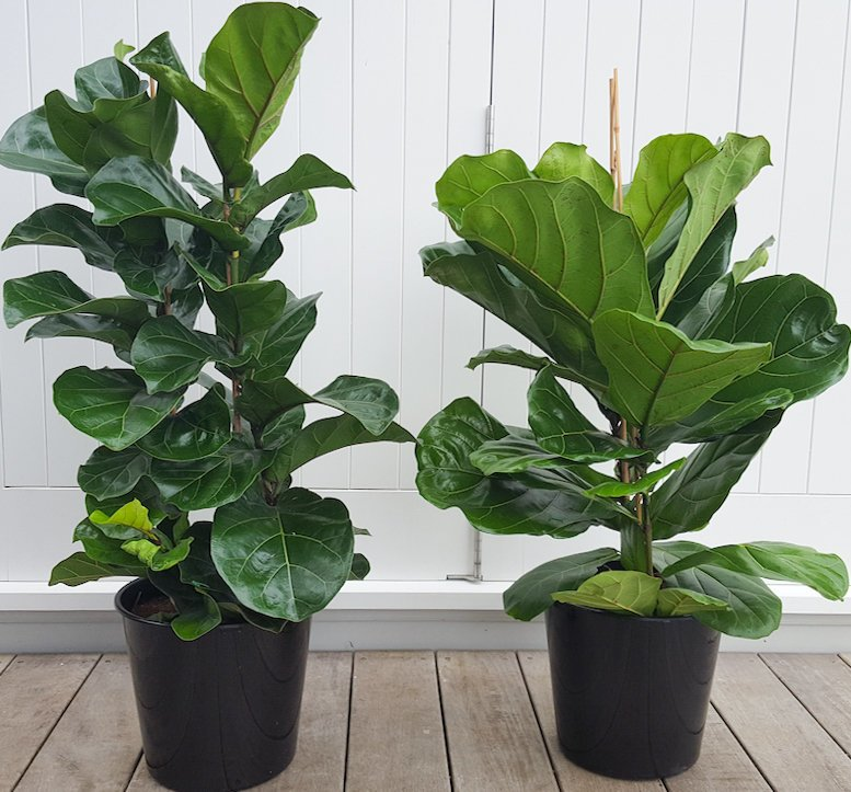 Fiddle Leaf Fig Bambino