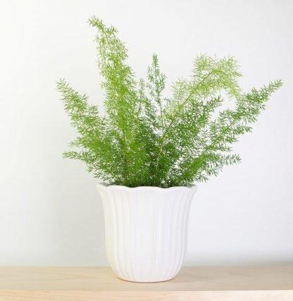 Foxtail Fern in White Vintage-Style Pot