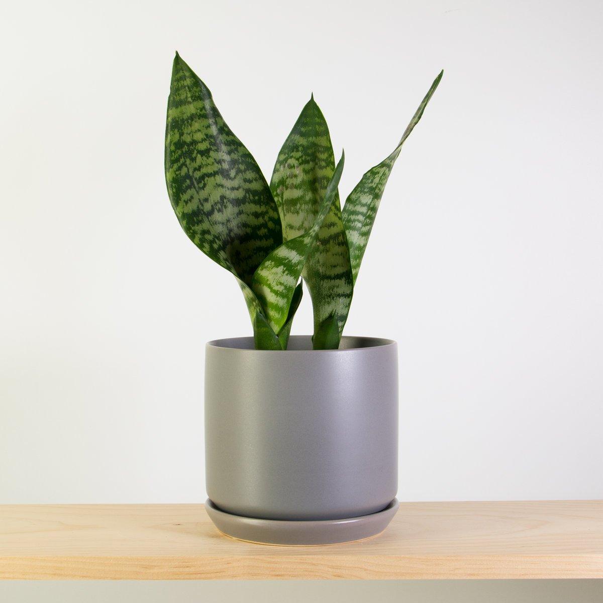Green Snake Plant In Grey Stoneware Pot Plantandpot Nz