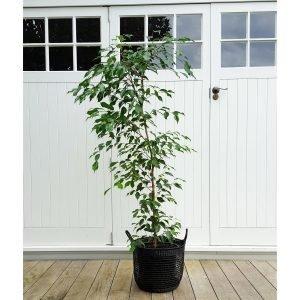 Tall Weeping Fig, Ficus Benjamina