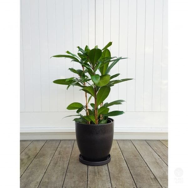 Ficus Louis in Black Ceramic Pot with matching saucer