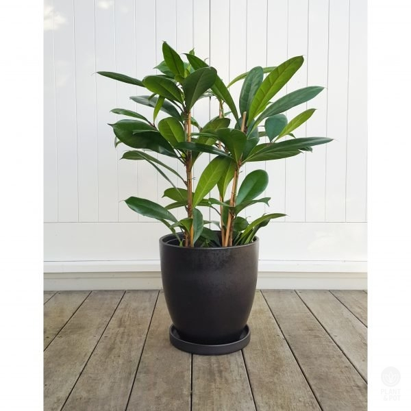 Ficus Louis in Black Pot with matching saucer