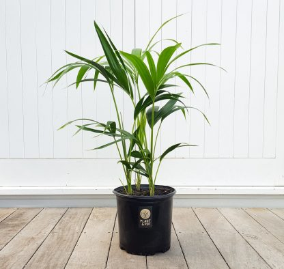 Kentia Palm 25cm Grade, 4 plants per pot