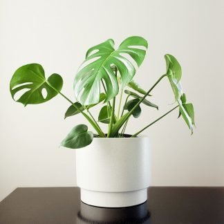 Monstera in Sawyer Pot Large
