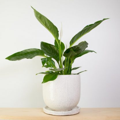 Peace Lily in White Crackle Glazed Pot