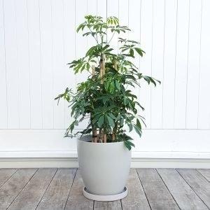 Scheflerra Arboricola in Grey Pot