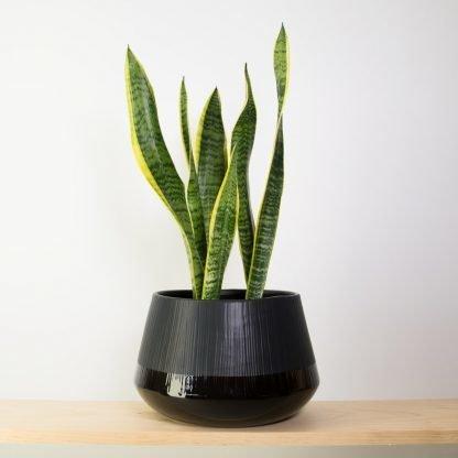 Snake Plant in Black Bevel Pot Large