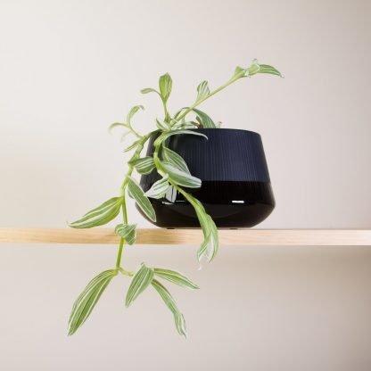 Tradescantia in Black Bevel Pot (Small)