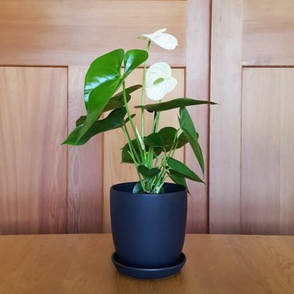 Anthurium in Black Pot