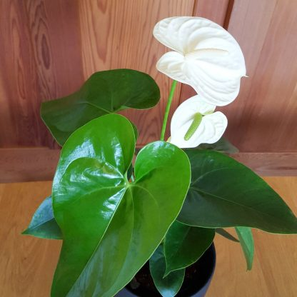 Warm White Anthurium