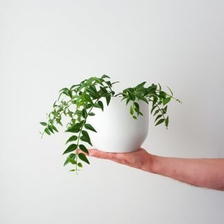 Hoya Bella in White Pot
