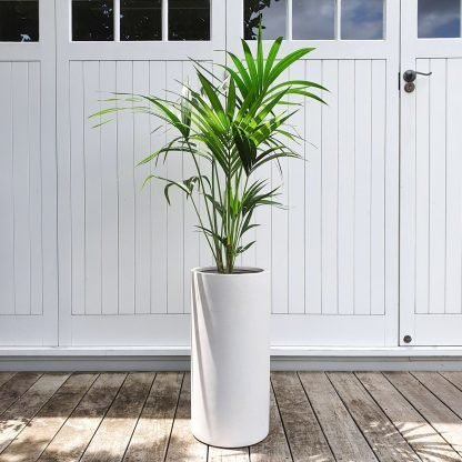 Kentia Palm in a tall white pot
