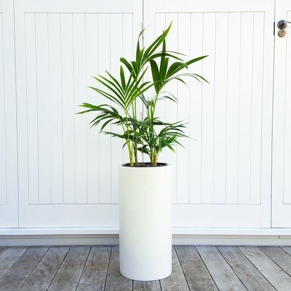 Kentia Palm in Tall White Pot (Pillar)