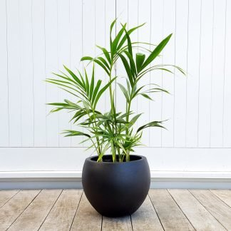 Kentia Palm in Black Pot
