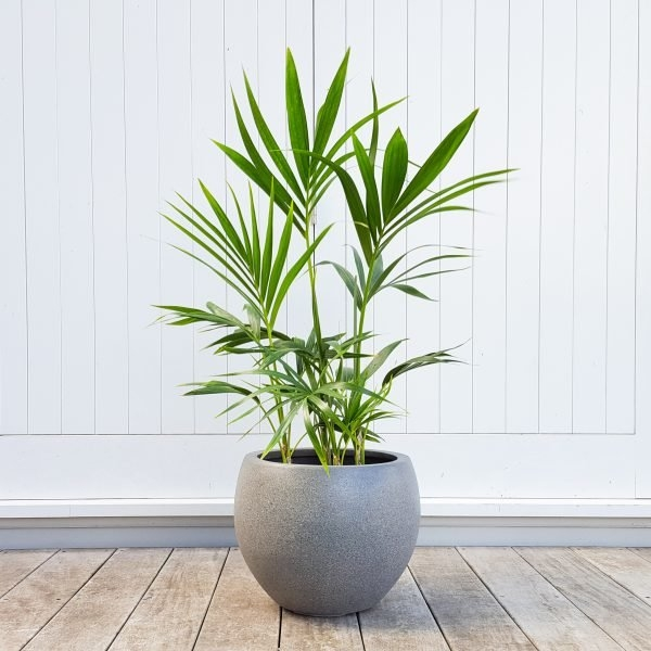 Kentia Palm in Grey Heerle Pot
