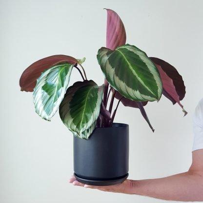 Calathea Cobra Pink in Black Pot