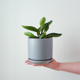 Peperomia Emerald Green in Grey Pot