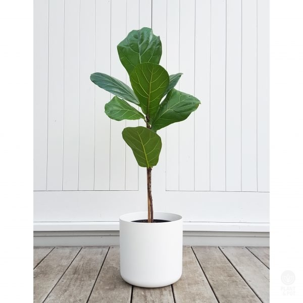Fiddle Leaf Fig Standard in White