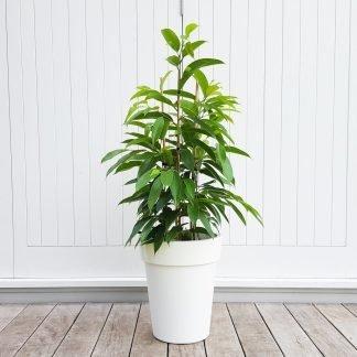 Long Leaf Fig in White Pot