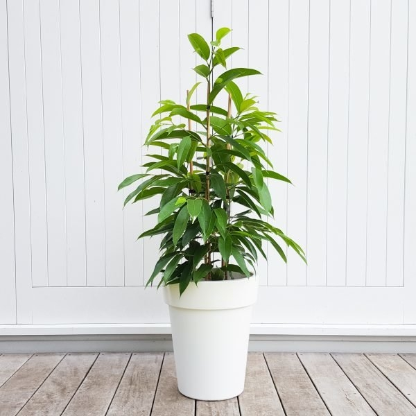 Long Leaf Fig in White Pot