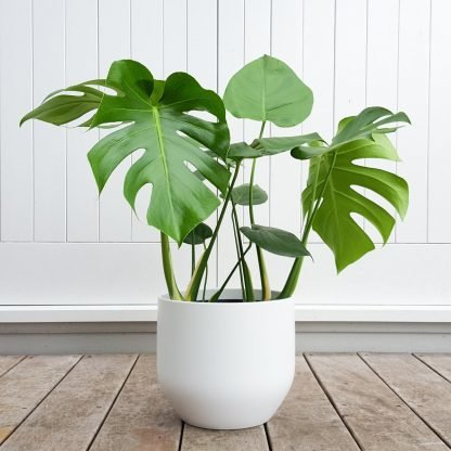 Monstera in White Pot
